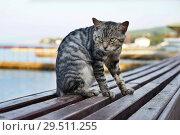 Купить «Серый, полосатый кот сидит на лавке», эксклюзивное фото № 29511255, снято 26 сентября 2015 г. (c) Dmitry29 / Фотобанк Лори