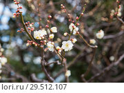 Купить «close up of beautiful sakura tree blossoms», фото № 29512107, снято 11 февраля 2018 г. (c) Syda Productions / Фотобанк Лори