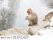 japanese macaque or snow monkey in hot spring (2018 год). Стоковое фото, фотограф Syda Productions / Фотобанк Лори