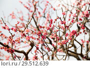 Купить «close up of beautiful sakura tree blossoms», фото № 29512639, снято 11 февраля 2018 г. (c) Syda Productions / Фотобанк Лори