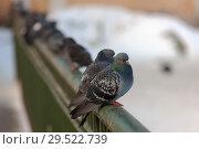 Купить «Pigeons sitting on the railing», фото № 29522739, снято 25 февраля 2009 г. (c) Argument / Фотобанк Лори