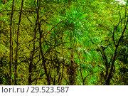 Купить «Background - subtropical forest, yew-boxwood grove with mossy tree trunks», фото № 29523587, снято 25 сентября 2017 г. (c) Евгений Харитонов / Фотобанк Лори