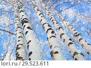 Купить «Snowfall in  birch grove», фото № 29523611, снято 4 декабря 2018 г. (c) Икан Леонид / Фотобанк Лори