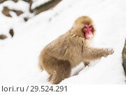 Купить «japanese macaque or monkey searching food in snow», фото № 29524291, снято 7 февраля 2018 г. (c) Syda Productions / Фотобанк Лори