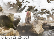 Купить «japanese macaque or snow monkey in hot spring», фото № 29524703, снято 7 февраля 2018 г. (c) Syda Productions / Фотобанк Лори