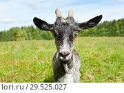 Купить «Серая коза на лугу летним солнечным днем (крупный план)», фото № 29525027, снято 7 августа 2018 г. (c) Екатерина Овсянникова / Фотобанк Лори