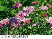 Купить «Розовые хризантемы цветут в саду», фото № 29529935, снято 20 сентября 2018 г. (c) Елена Коромыслова / Фотобанк Лори