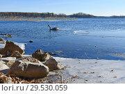 Купить «Птенец лебедя шипуна на озере Увильды в ноябре в солнечный морозный день, Челябинская область», фото № 29530059, снято 13 ноября 2018 г. (c) Овчинникова Ирина / Фотобанк Лори