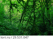 Купить «Background - subtropical forest, yew-boxwood grove with mossy tree trunks», фото № 29531047, снято 26 сентября 2017 г. (c) Евгений Харитонов / Фотобанк Лори