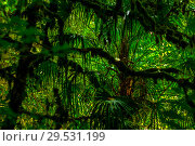 Купить «Background - subtropical forest, yew-boxwood grove with mossy tree trunks», фото № 29531199, снято 25 сентября 2017 г. (c) Евгений Харитонов / Фотобанк Лори