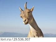 Купить «Chamois at Maliciosa peak. Sierra de Guadarrama. Madrid. Spain.», фото № 29536307, снято 13 сентября 2018 г. (c) age Fotostock / Фотобанк Лори