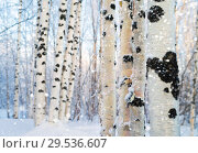 Купить «Winter bright landscape with snowy birch grove», фото № 29536607, снято 4 декабря 2018 г. (c) Икан Леонид / Фотобанк Лори
