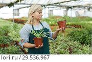 Купить «Mature female gardener working with plant of cinta in pots in greenhouse», фото № 29536967, снято 20 августа 2018 г. (c) Яков Филимонов / Фотобанк Лори