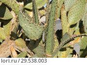 Купить «close up of cactus growing outdoors», фото № 29538003, снято 3 марта 2018 г. (c) Syda Productions / Фотобанк Лори