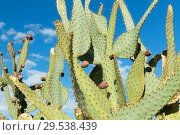 Купить «close up of cactus growing outdoors over blue sky», фото № 29538439, снято 3 марта 2018 г. (c) Syda Productions / Фотобанк Лори