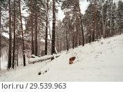 Купить «Лес сосновый и собака в снегу», эксклюзивное фото № 29539963, снято 2 декабря 2018 г. (c) Анатолий Матвейчук / Фотобанк Лори