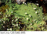 Купить «Common water-crowfoot (Ranunculus aquatilis) is an aquatic plant native to Europe, northwest Africa and west North America. Next to aquatic fern (Azolla...», фото № 29540995, снято 21 июля 2013 г. (c) age Fotostock / Фотобанк Лори