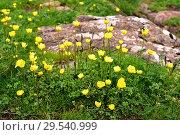 Купить «Boton de oro (Ranunculus ollissiponensis) is a perennial herb native to central Iberian Peninsula. This photo was taken in Babia, Leon province, Castilla-Leon, Spain.», фото № 29540999, снято 4 июня 2018 г. (c) age Fotostock / Фотобанк Лори