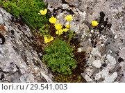 Купить «Boton de oro (Ranunculus ollissiponensis) is a perennial herb native to central Iberian Peninsula. This photo was taken in Babia, Leon province, Castilla-Leon, Spain.», фото № 29541003, снято 4 июня 2018 г. (c) age Fotostock / Фотобанк Лори
