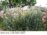 Купить «White mignonette (Reseda alba) is a perennial herb native to Mediterranean Basin and western Asia. This photo was taken in Mallorca Island, Balearic Islands, Spain.», фото № 29541007, снято 21 марта 2008 г. (c) age Fotostock / Фотобанк Лори
