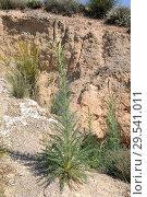Купить «Enturio (Reseda suffruticosa) is an annual or perennial herb native to gypsum soils to Spain. This photo was taken in Valle del Tajuna, Madrid Comunity, Spain.», фото № 29541011, снято 17 апреля 2011 г. (c) age Fotostock / Фотобанк Лори