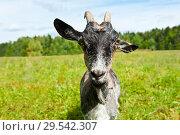 Купить «Серая коза на лугу летним солнечным днем (крупный план)», фото № 29542307, снято 7 августа 2018 г. (c) Екатерина Овсянникова / Фотобанк Лори