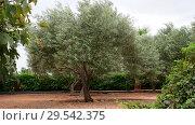 Купить «Fragment of garden with olive trees in November in Cyprus», видеоролик № 29542375, снято 8 декабря 2018 г. (c) Володина Ольга / Фотобанк Лори