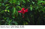 Купить «Red hibiscus flower under rain», видеоролик № 29542535, снято 24 ноября 2018 г. (c) Игорь Жоров / Фотобанк Лори