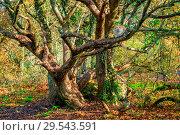 Купить «Red cat on an old sprawling oak tree in the park», фото № 29543591, снято 7 ноября 2017 г. (c) Константин Лабунский / Фотобанк Лори