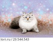 Купить «Christmas cat, Сибирская Невская Маскарадная кошечка», фото № 29544543, снято 17 ноября 2018 г. (c) ElenArt / Фотобанк Лори