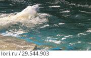 Купить «Polar bear playing in water», видеоролик № 29544903, снято 30 октября 2018 г. (c) Игорь Жоров / Фотобанк Лори