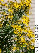 Купить «Yellow blooming helenium», фото № 29545235, снято 3 сентября 2016 г. (c) Argument / Фотобанк Лори