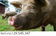 Купить «Жующее свиное рыло / Pig with her piglets are chawing», видеоролик № 29545347, снято 9 декабря 2018 г. (c) Serg Zastavkin / Фотобанк Лори
