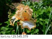 Купить «Ирис Хало ин Пич (лат. Halo in Peach)», эксклюзивное фото № 29545379, снято 5 июня 2015 г. (c) lana1501 / Фотобанк Лори