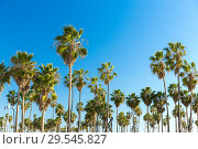 Купить «palm trees at venice beach, california», фото № 29545827, снято 26 февраля 2018 г. (c) Syda Productions / Фотобанк Лори