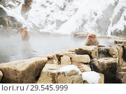 Купить «japanese macaques or snow monkeys in hot spring», фото № 29545999, снято 8 февраля 2018 г. (c) Syda Productions / Фотобанк Лори