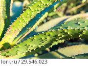 Купить «close up of aloe plant growing outdoors», фото № 29546023, снято 26 февраля 2018 г. (c) Syda Productions / Фотобанк Лори