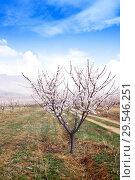 Купить «Apricot farm during sping season against Vayk mountain range, Vayots Dzor Province», фото № 29546251, снято 16 марта 2018 г. (c) Papoyan Irina / Фотобанк Лори