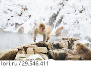 Купить «japanese macaques or snow monkeys at hot spring», фото № 29546411, снято 8 февраля 2018 г. (c) Syda Productions / Фотобанк Лори