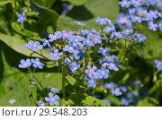 Купить «Брунера крупнолистная (лат. Brunnera macrophylla) в саду», фото № 29548203, снято 14 мая 2018 г. (c) Елена Коромыслова / Фотобанк Лори