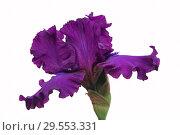 Купить «Purple Iris on white background», фото № 29553331, снято 6 июля 2017 г. (c) Татьяна Белова / Фотобанк Лори