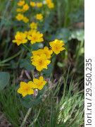 Купить «Marsh marigold blooming», фото № 29560235, снято 30 мая 2009 г. (c) Argument / Фотобанк Лори