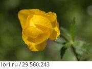 Купить «Globeflower close up», фото № 29560243, снято 30 мая 2009 г. (c) Argument / Фотобанк Лори