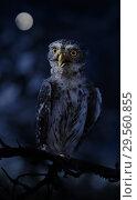 Купить «Little owl sitting on a branch in the night forest», фото № 29560855, снято 16 октября 2018 г. (c) Алексей Кузнецов / Фотобанк Лори