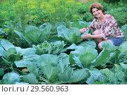 Купить «A woman grows cabbage in the garden», фото № 29560963, снято 17 июля 2017 г. (c) Володина Ольга / Фотобанк Лори