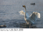 Beautiful white whooping swans. Стоковое фото, фотограф Jan Jack Russo Media / Фотобанк Лори