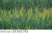 Купить «Sprouts of young wheat at sunset», видеоролик № 29563743, снято 18 июня 2018 г. (c) Володина Ольга / Фотобанк Лори