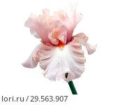 Купить «Цветок ириса на белом фоне», фото № 29563907, снято 6 июля 2017 г. (c) Татьяна Белова / Фотобанк Лори