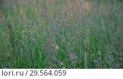 Купить «Beautiful wild grass in the meadow, fragment», видеоролик № 29564059, снято 18 июня 2018 г. (c) Володина Ольга / Фотобанк Лори