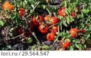 Купить «Ripe red tomatoes are grown in the ground», видеоролик № 29564547, снято 25 августа 2018 г. (c) Володина Ольга / Фотобанк Лори